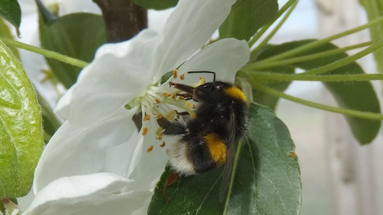 En humla sitter i mitten av en vit äppelblomma och samlar pollen och nektar. Foto: Dara Stanley