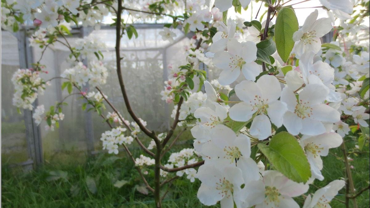 Äppelträd. Foto: Victoria Wickens