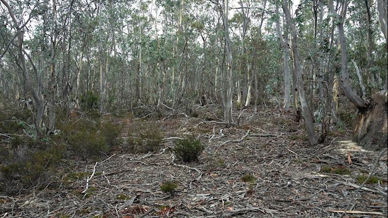 Grå tunna trädstammar, glest bladverk, torra pinnar på marken, enstaka låga buskar och ris