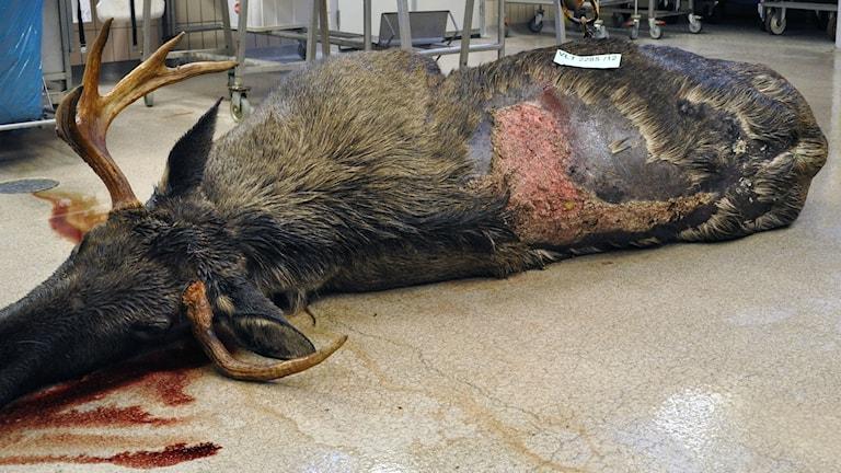 Älgtjur som har drabbats av sår på ryggen. Foto: Erik Ågren/SVA