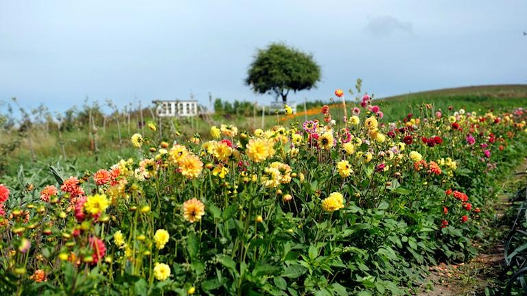 Växter. Foto: Johannes Jansson/Wikimedia Commons CCBY 2.5