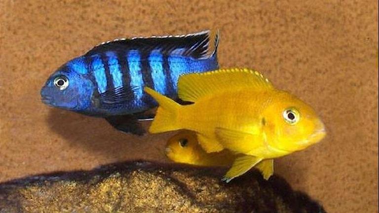 En blå och en gul ciklid.-Foto: Gerard Delany/CC BY-SA 2.5