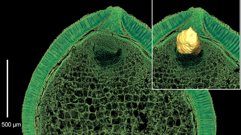 Fröets skalvägg, näringsvävnad och lilla embryo. Foto: Else Marie Friis.