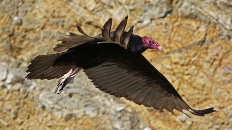 flygande fågel i profil mot bakgrund av bergvägg Foto: Thomas Brown CC BY 2.0