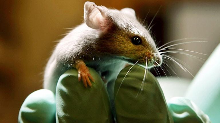Mus i handen på labbpersonal. Foto: TT