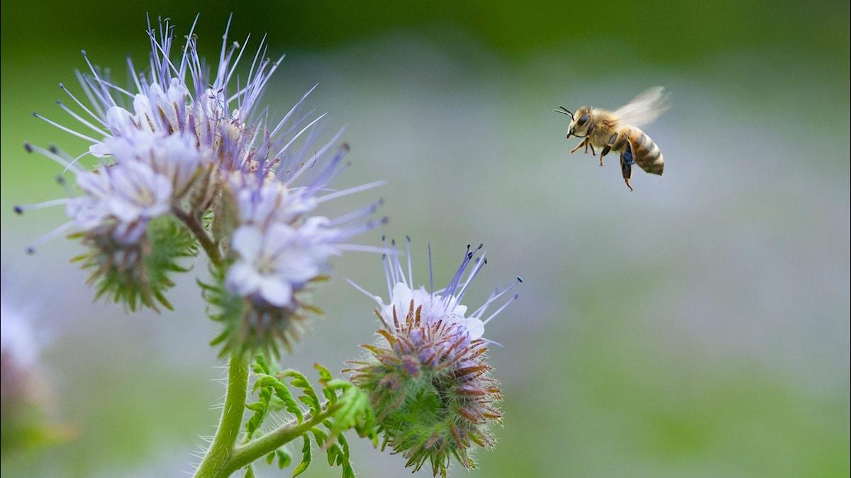 bi flyger mot blomma. Foto:  Sondre Dahle