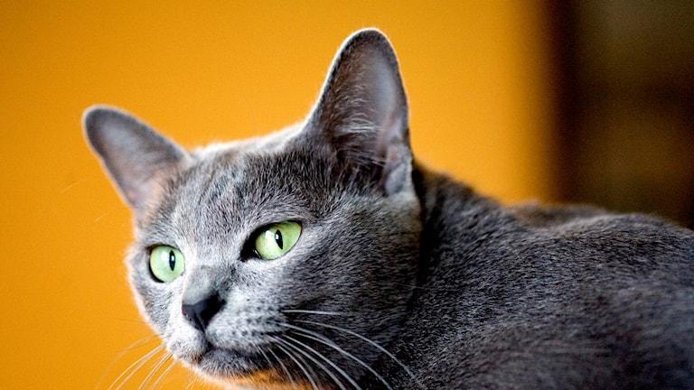 Grå katt mot gul bakgrund. Foto: Pontus Lundahl/TT