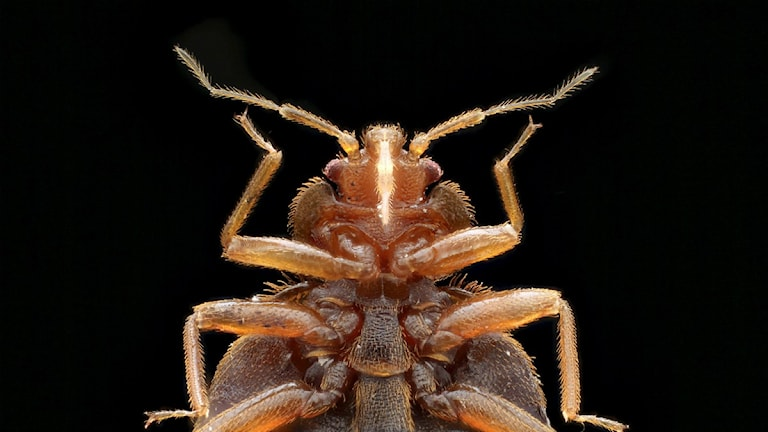 Närbild av vägglusen (Cimex lectularius). Foto: Armed Forces Pest Management Bureau