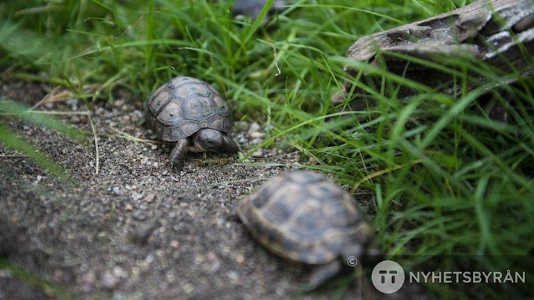 Sköldpaddor. Foto: Vilhelm Stokstad/TT
