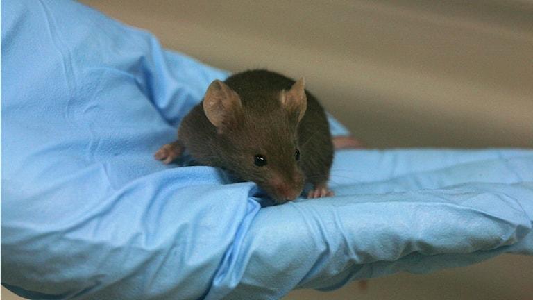 En lite mus i handen på forskare med blåa gummihandksar. Foto: Rama. Wikimedia CC BY-SA 2.0 fr