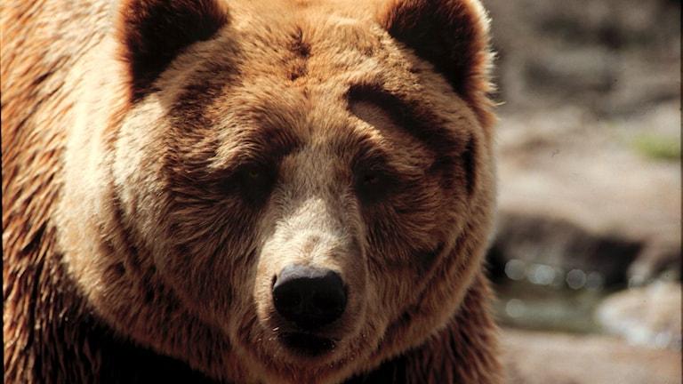 Närbild på en björn. Foto: Janerik Henriksson/TT