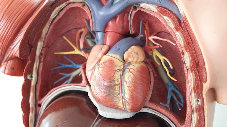 Bild på en plastdocka med hjärta och kärl synligt.