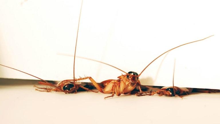 Tre kackerlackor klämmer sig igenom en dörrspringa.