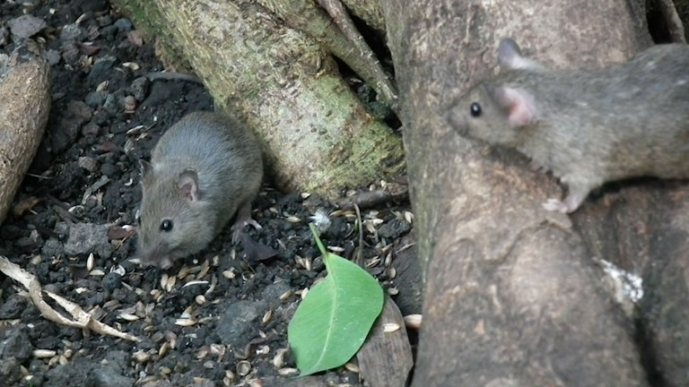 En mus spanar på en annan mus