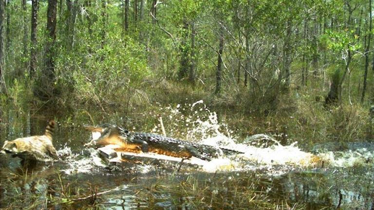 En alligator som jagar en tvättbjörn.