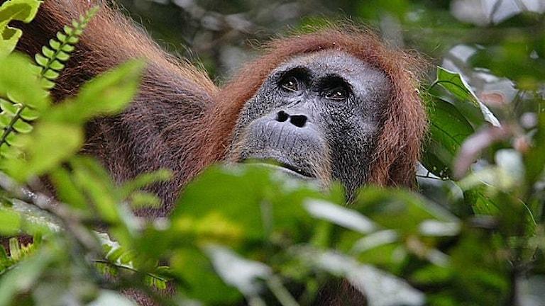 En Sumatraoragutang sitter gömd bland gröna ormbunksblad