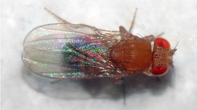 En närbild på en bananfluga, sedd uppifrån.