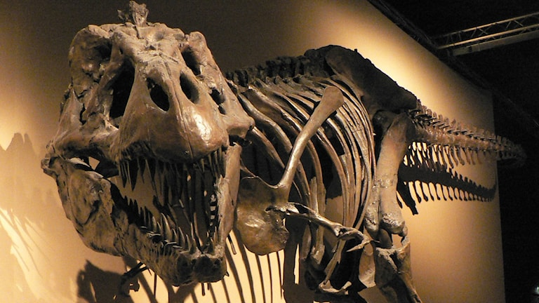 En bild från ett museum på ett Tyrannosaurus rex-skelett