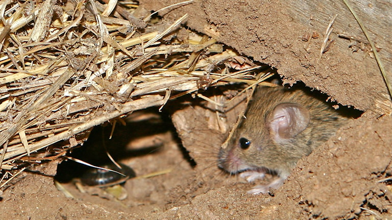 En bild på en liten mus som tittar ut från sitt grusiga bo.