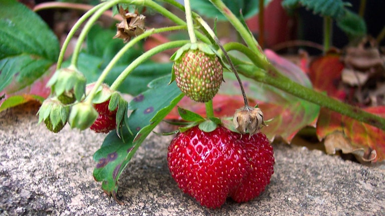 jordgubbsplanta