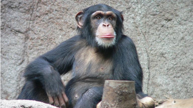 En bild på en sittande schimpans.