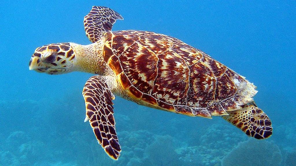 En havssköldpadda simmar i en blå ocean