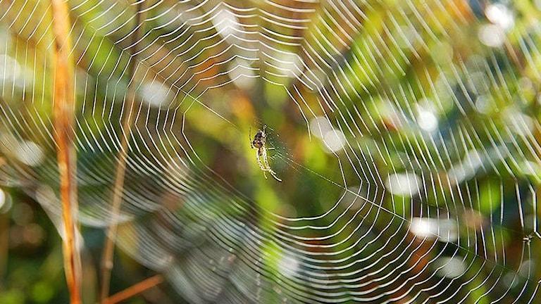Spindelnät i ett naturreservat i Belgien. Foto: Luc Viatour / www.Lucnix.be (CC BY-SA 3.0)