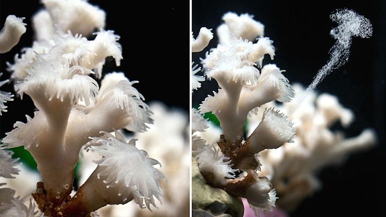 Så här ser det ut när ögonkorallen släpper sina ägg.