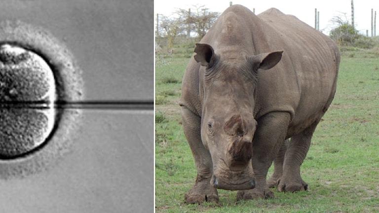 Sammansatt bild av en äggcell som befruktas med IVF, samt en noshörning