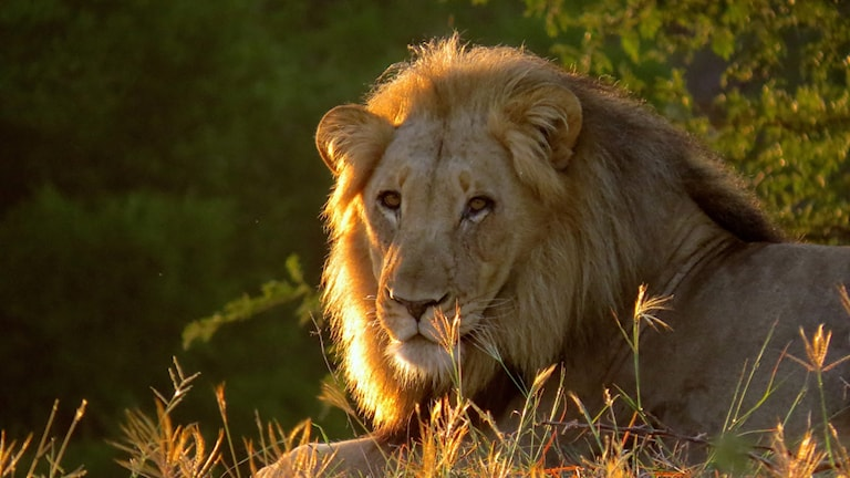 En lejonhane ligger i gräset.