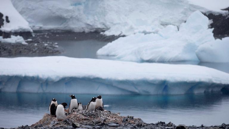 Antarktis, pingviner