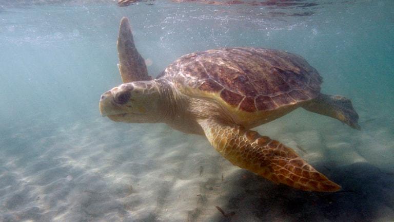 En rödaktig sköldpadda simmar i havet