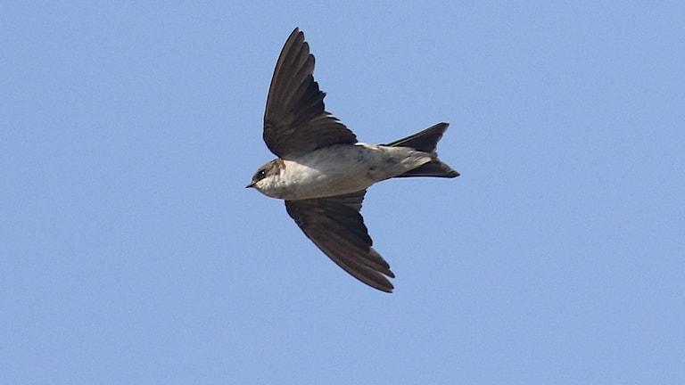 En Hussvala flyger med vingarna utbredda mot en alldeles blå himmel.
