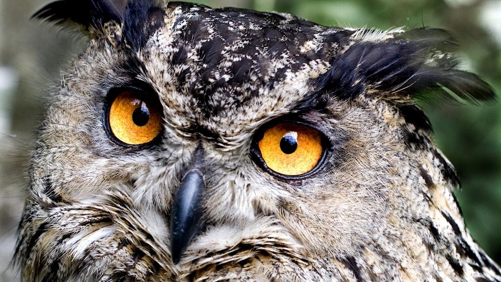 En bild på en berguv, starkt lysande gula ögon.