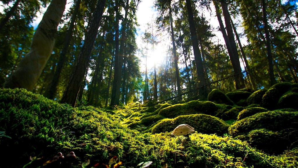 Skog i naturreservatet Fiby urskog utanför Uppsala.
