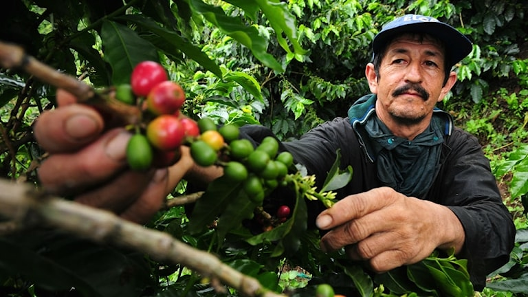 En kaffeodlare plockar kaffe i Colombia.
