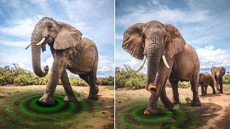 Illustration över hur elefantens steg orsakar vibrationer i marken där han går. Ringar som utgår från elefantens fot som ringarna på vattnet illustrerar detta.
