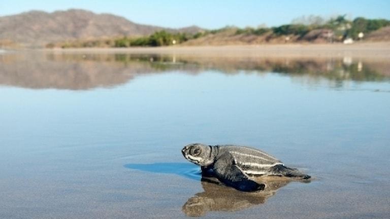 En havslädersköldpadda på en strand i Mocambique