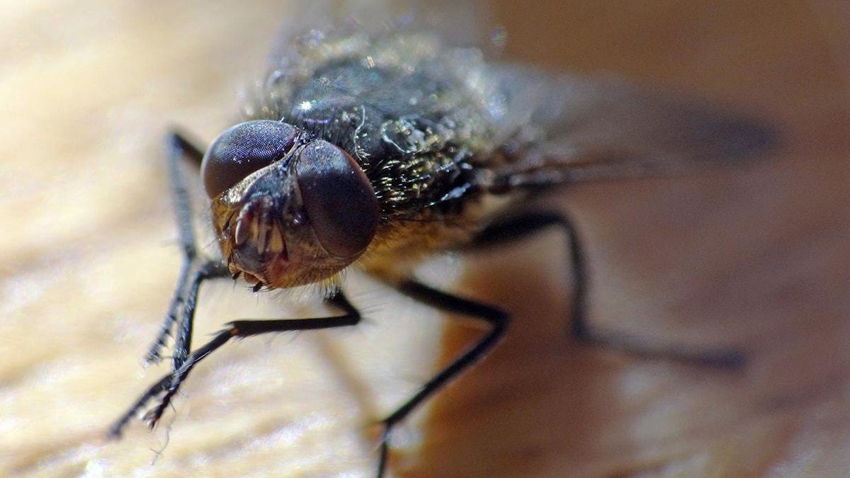 En husfluga på en bordsyta.