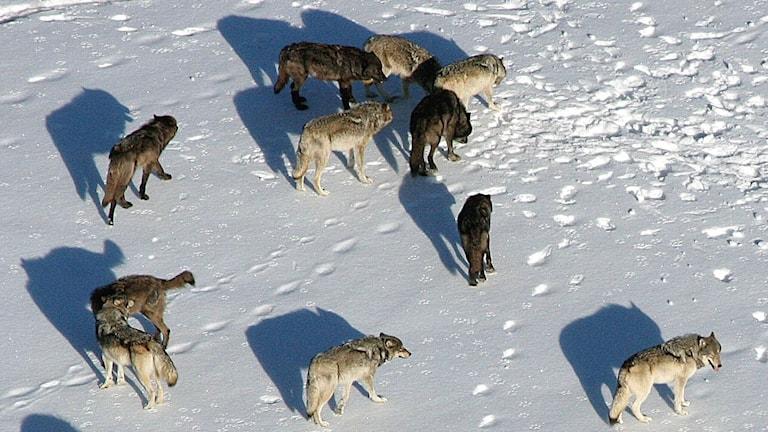 En flock med vargar på snö i Yellowstone nationalpark. Bilden är tagen från luften.