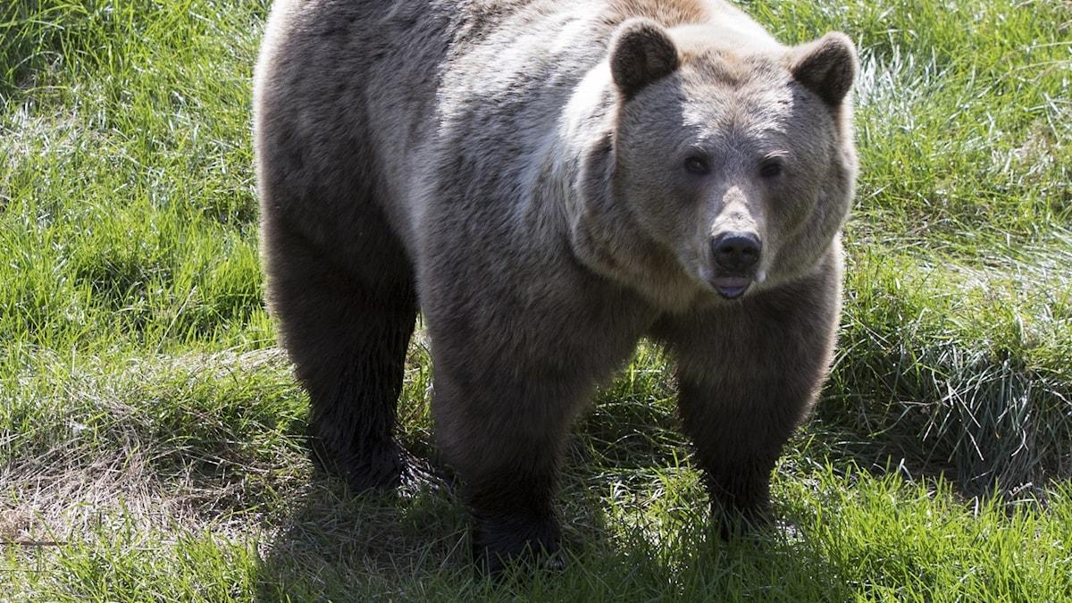 Brunbjörn i Namskogen familiepark.