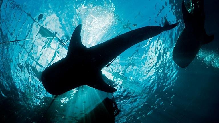 En svart siluett av en valhaj mot en blå havsyta. Fotot är taget underifrån och solens strålar skiner ner genom vattnet.