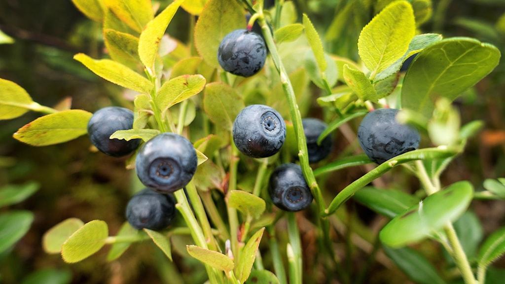 Mogna blåbär på blåbärsris.