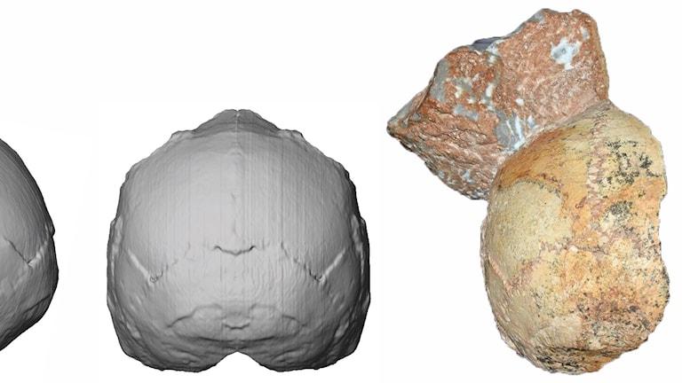 Den del av kraniet som analyserats av forskarna syns till höger i bilden, som också visar en rekonstruering av kraniet.