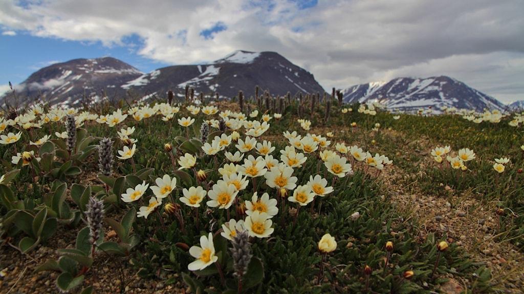 Blommor på bergig mark i Arktis.