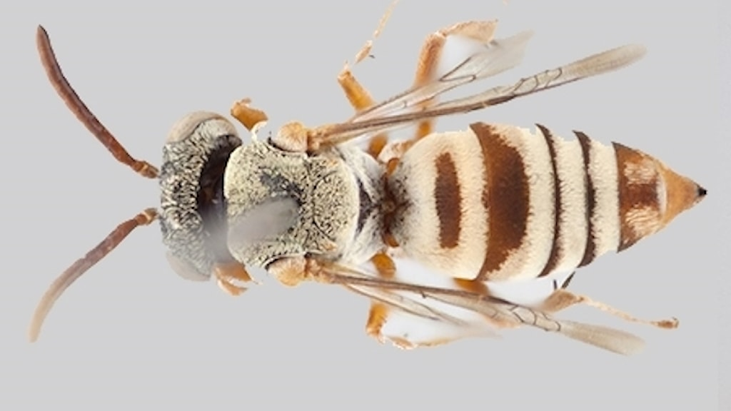 Närbild på hona av biet Epeolus attenboroughi.