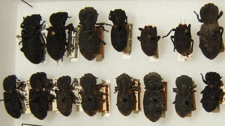 Döda skalbaggar.