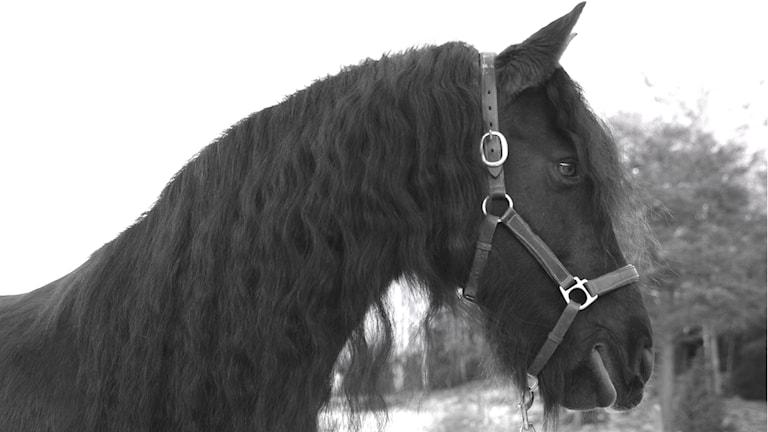 En frieserhäst med lång lockig man står och tittar ut mot sin hage.