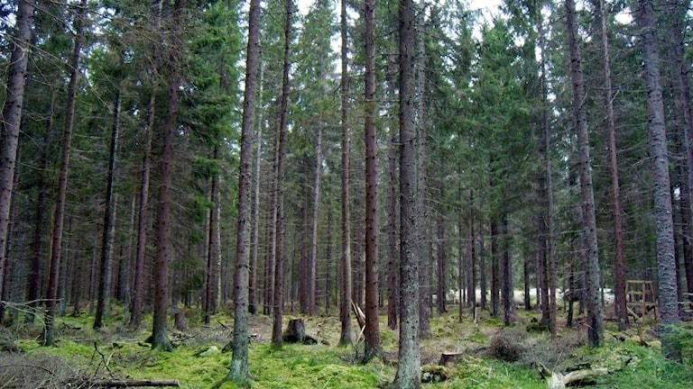 En massa granstammar. Monokutur med få andra träd och buskar.
