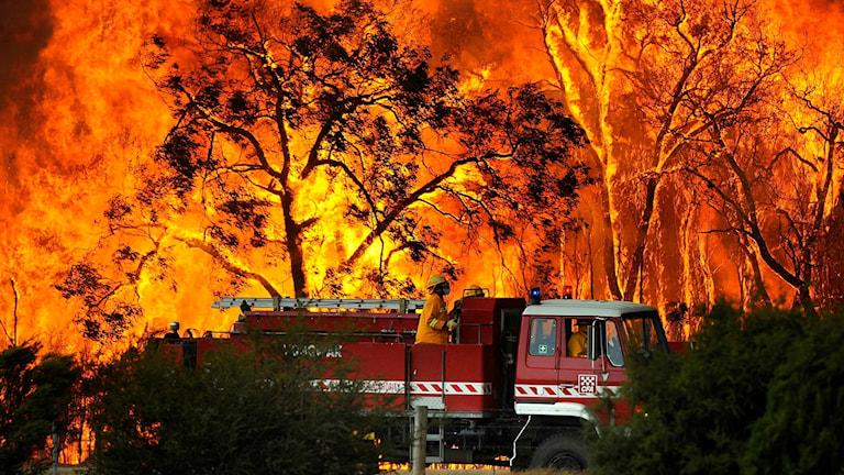 Skog i lågor, med brandbil framför, i Australien.